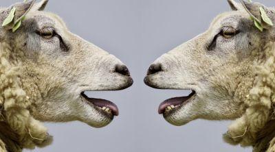 owce zrzędy